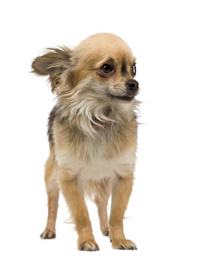 Chihuahua (2 jaar) royalty-vrije stock afbeelding