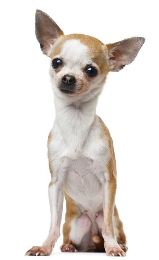 Chihuahua, 2 Jahre alt, sitzend stockbild