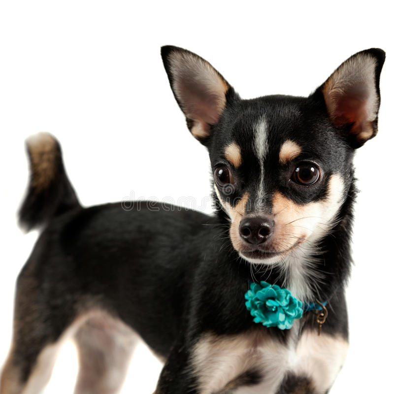 Chihuahua imagens de stock royalty free