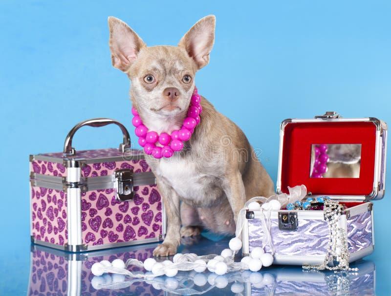 Chihuahua fotos de archivo libres de regalías