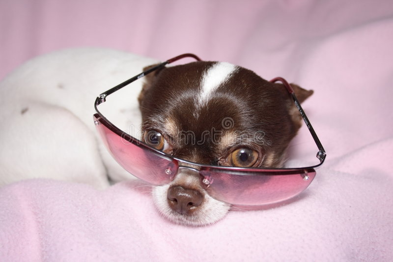 Download Chihuahua stock photo. Image of pleasantry, cute, funny - 2403052