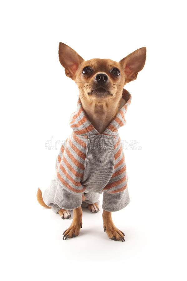 Download Chihuahua stock photo. Image of chihuahua, dressed, haired - 24488564