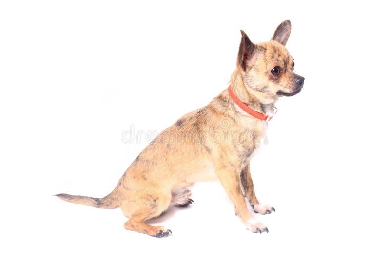 Chihuahua stockfotografie