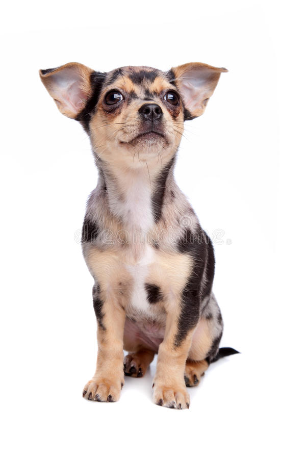 Download Chihuahua stock image. Image of blue, haired, animal - 25097859