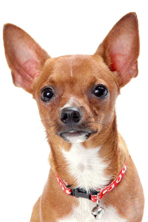 Chihuahua stockbild