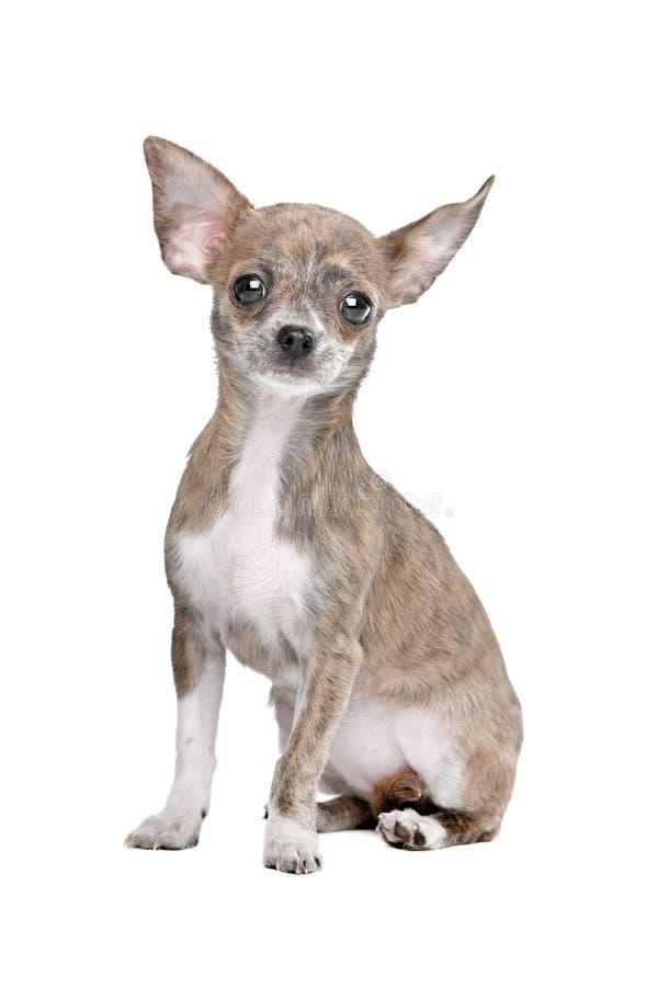 Chihuahua lizenzfreie stockfotografie
