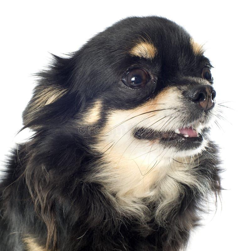 Download Chihuahua stockbild. Bild von haustier, haar, mini, schön - 26366929