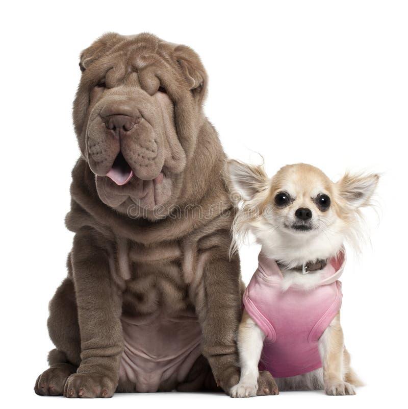Chihuahua, 3 het jaar oude, en puppy van Shar Pei royalty-vrije stock fotografie