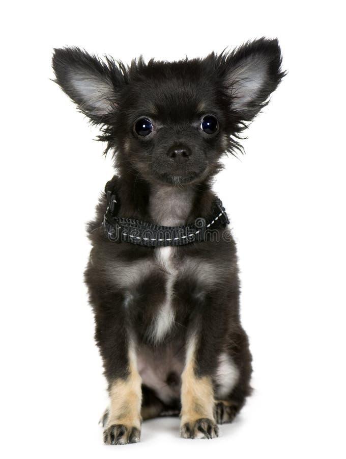 Chihuahua (3 meses) foto de archivo