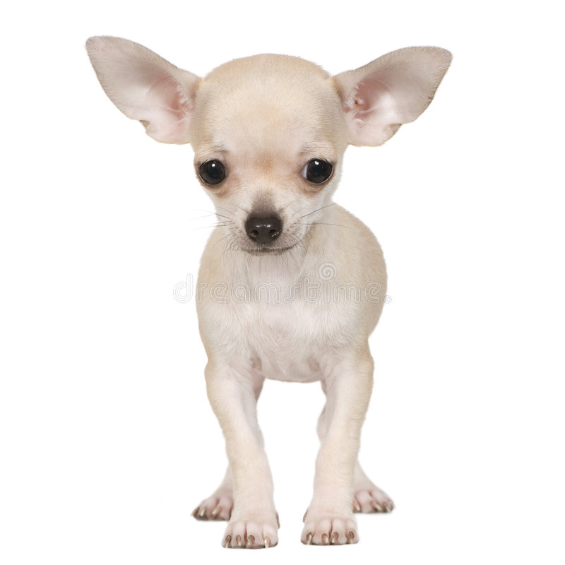 Free Chihuahua (3 Months) Royalty Free Stock Images - 5666969