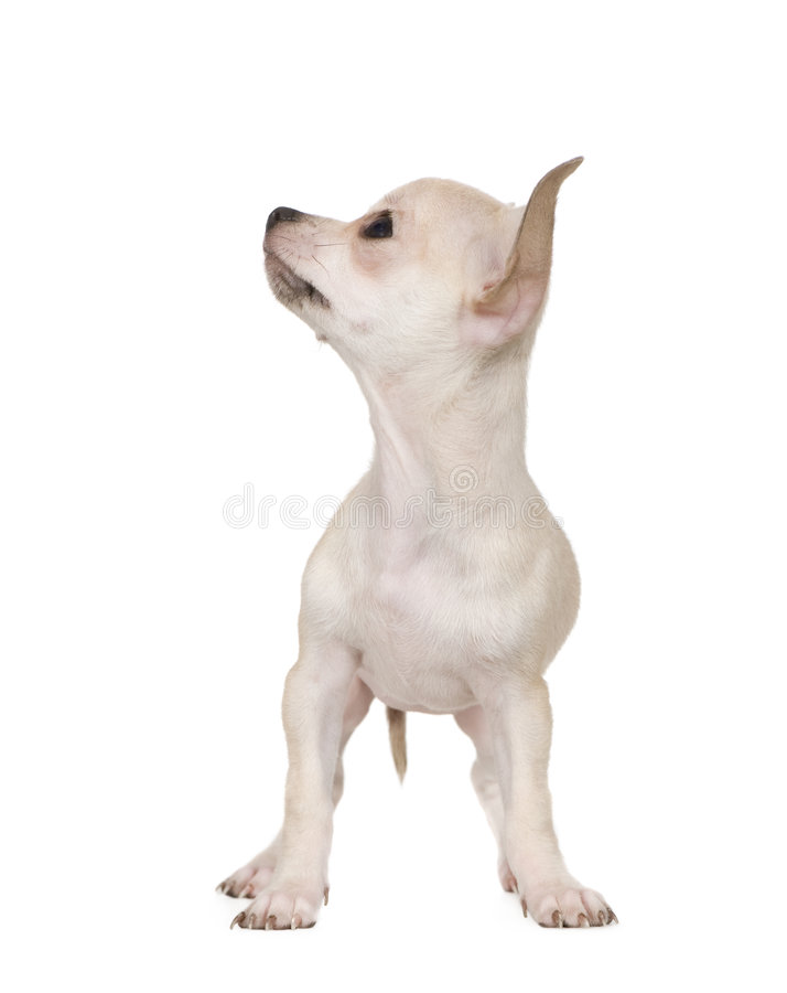 Free Chihuahua (3 Months) Stock Photography - 5666972