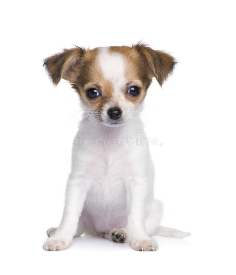 Free Chihuahua (3 Moths) Stock Photo - 8195730