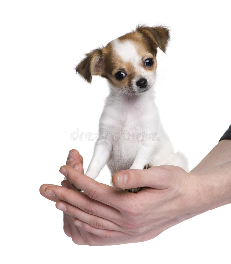 Free Chihuahua (3 Moths) Royalty Free Stock Images - 8496939