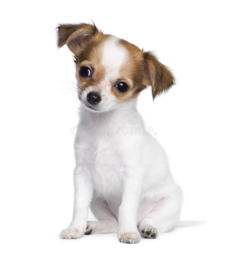 Chihuahua (3 motten) stock afbeelding