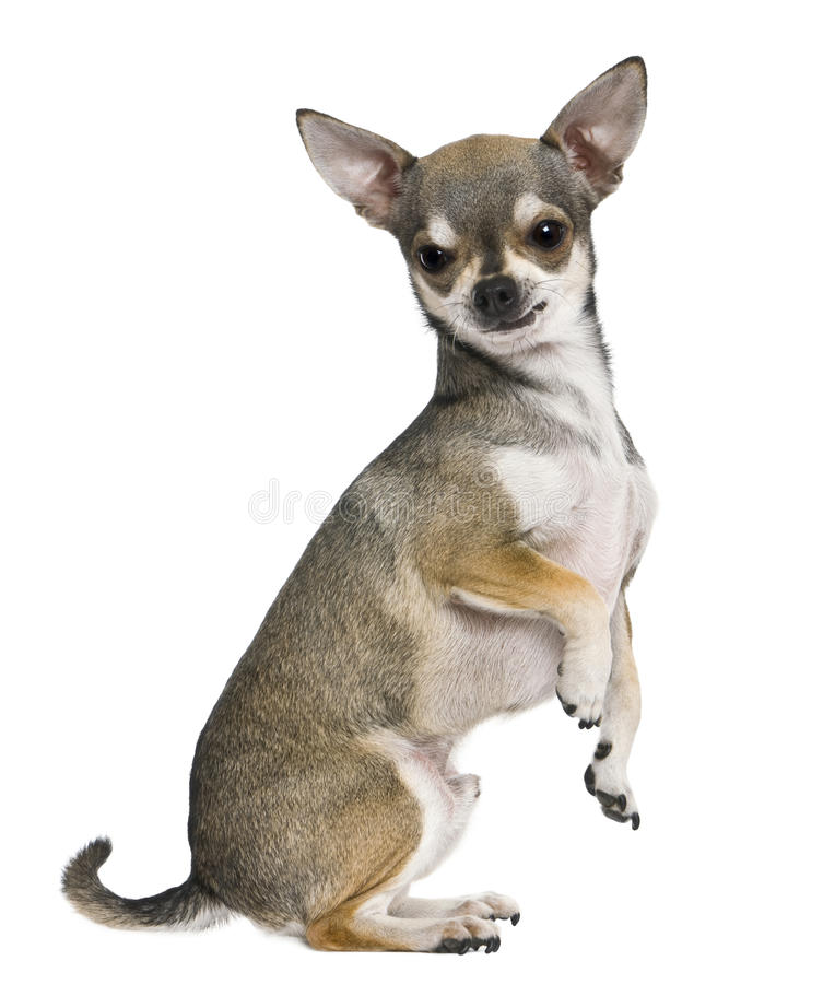 Chihuahua, 3 years old, on hind legs stock image
