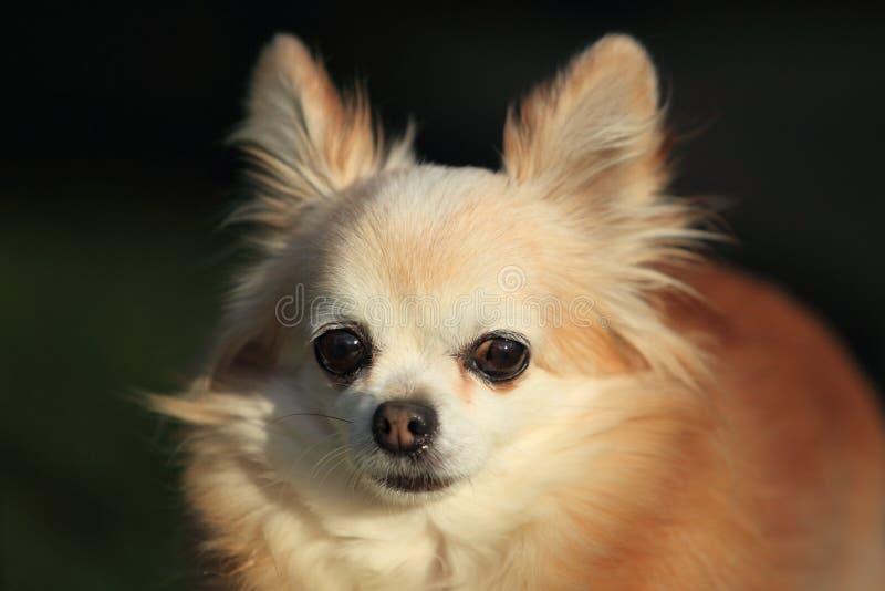 Chihuahua imagem de stock royalty free