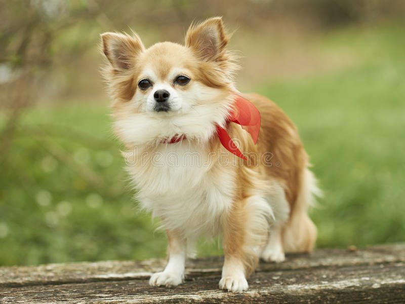 Chihuahua lizenzfreies stockbild