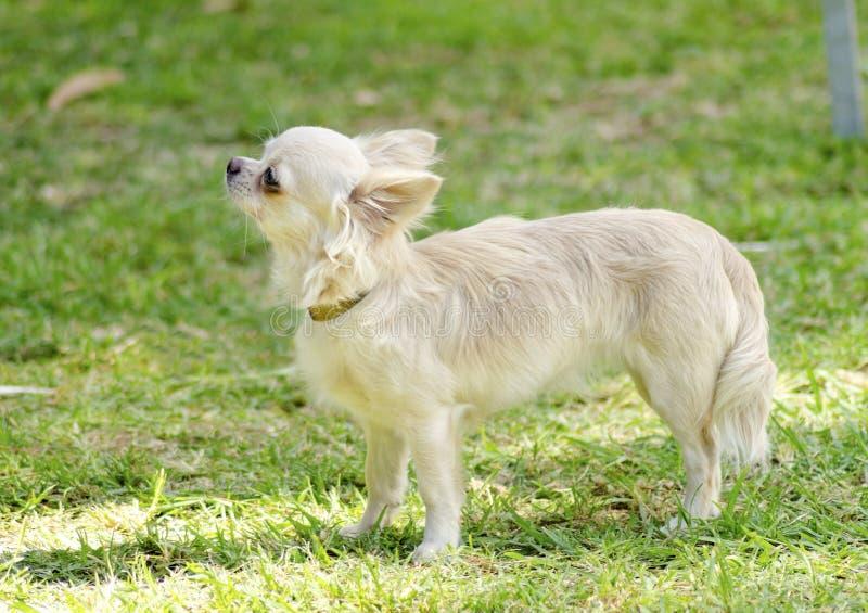 Chihuahua obrazy royalty free