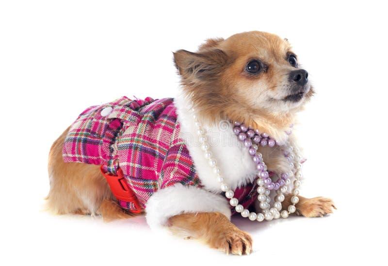 Download Chihuahua stock foto. Afbeelding bestaande uit studio - 39103734