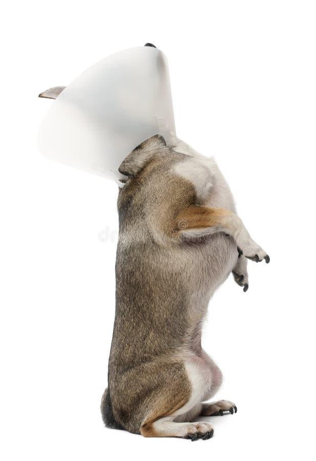 Chihuahua, 4 jaar die oud, een ruimtekraag draagt stock afbeeldingen