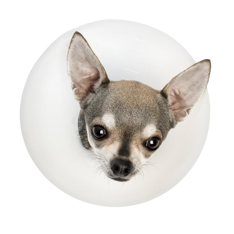 Free Chihuahua, 4 Years Old, Wearing A Space Collar Royalty Free Stock Photo - 23305515
