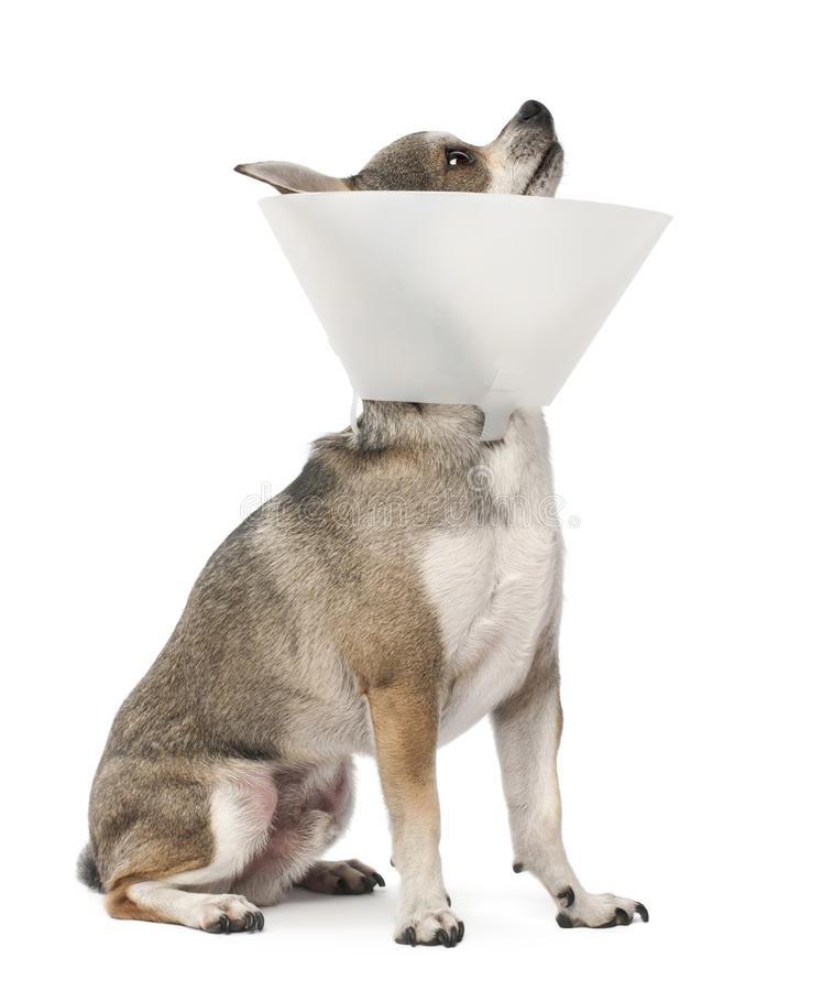 Free Chihuahua, 4 Years Old, Wearing A Space Collar Royalty Free Stock Photos - 23305528
