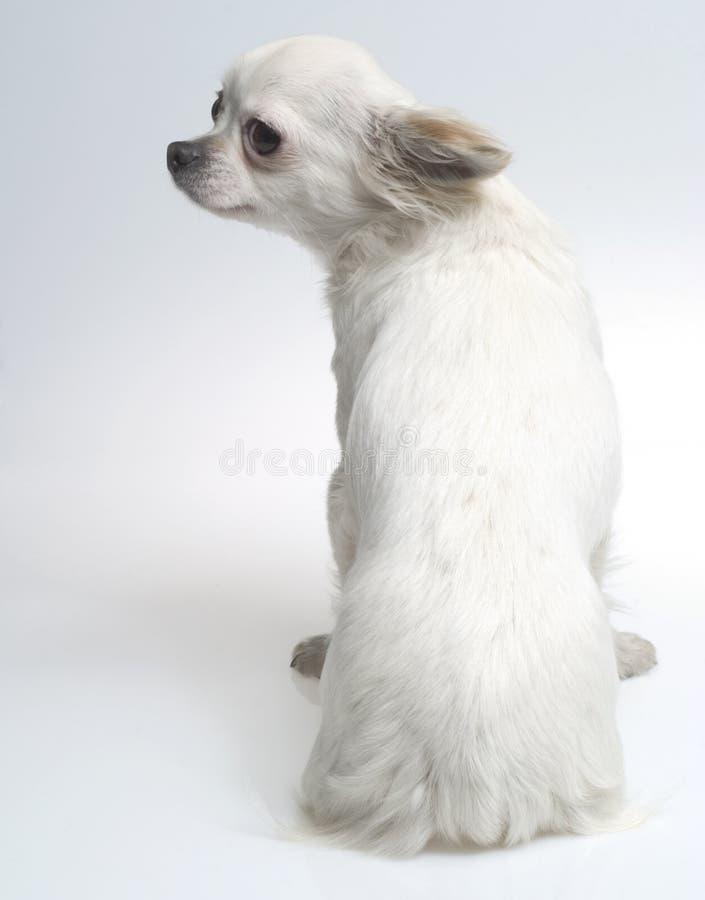Chihuahua royalty-vrije stock fotografie