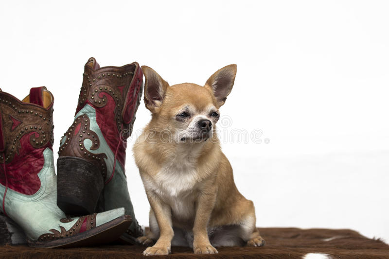 Chihuahua fotografia de stock