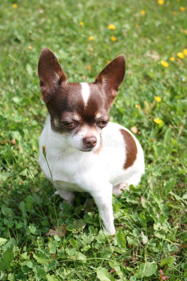 Chihuahua imagens de stock
