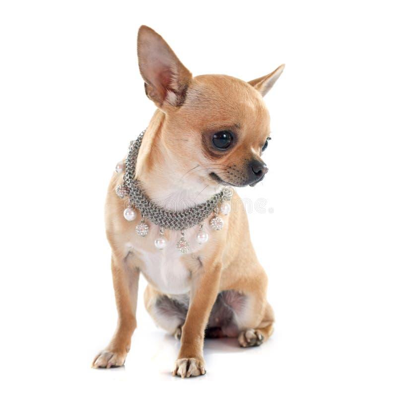 Chihuahua zdjęcia royalty free