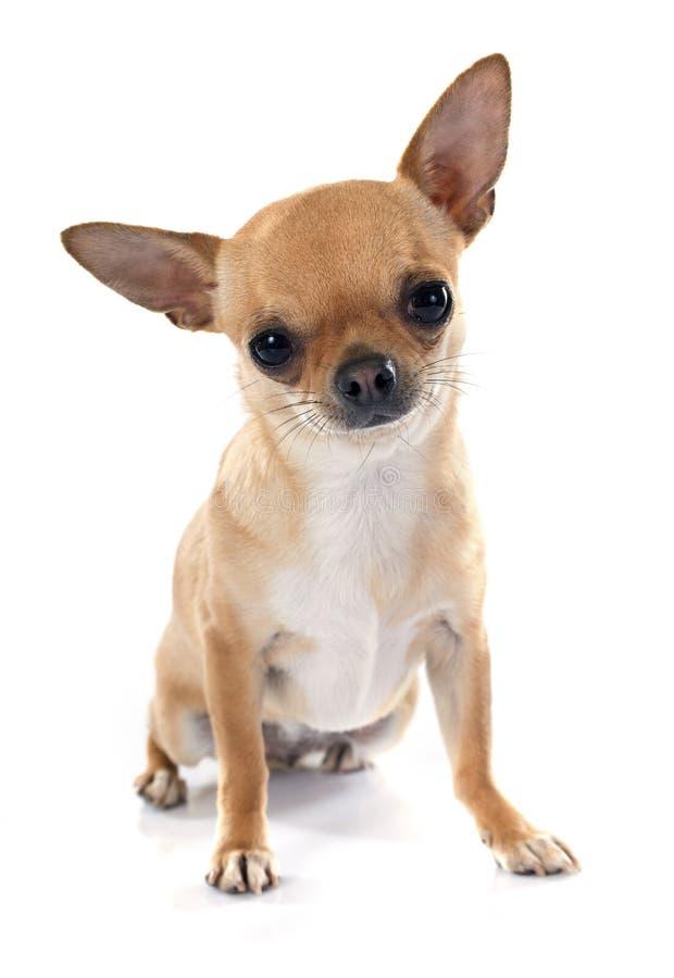 Chihuahua obraz stock