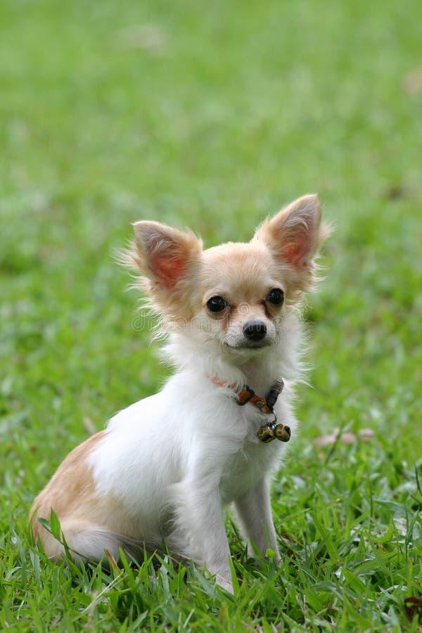 Free Chihuahua Royalty Free Stock Image - 598386