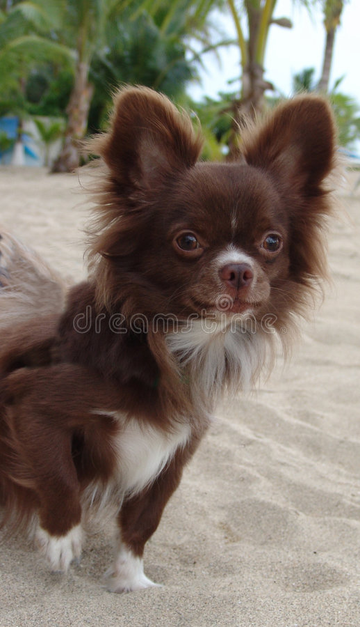 Free Chihuahua Royalty Free Stock Photos - 686338