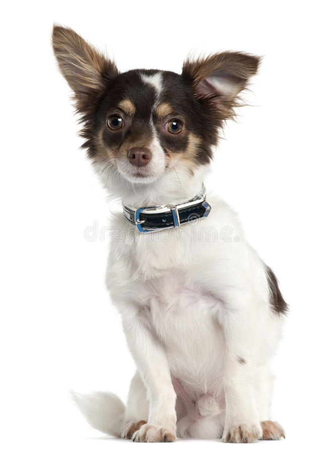 Free Chihuahua, 7 Month Old, Sitting Royalty Free Stock Photography - 20378987