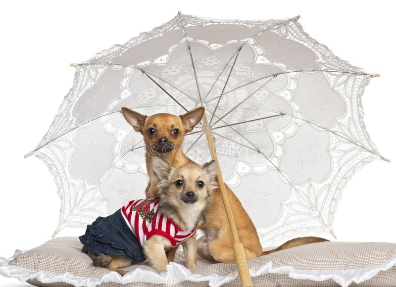 Chihuahua, 7 months old and 9 months old royalty free stock photography