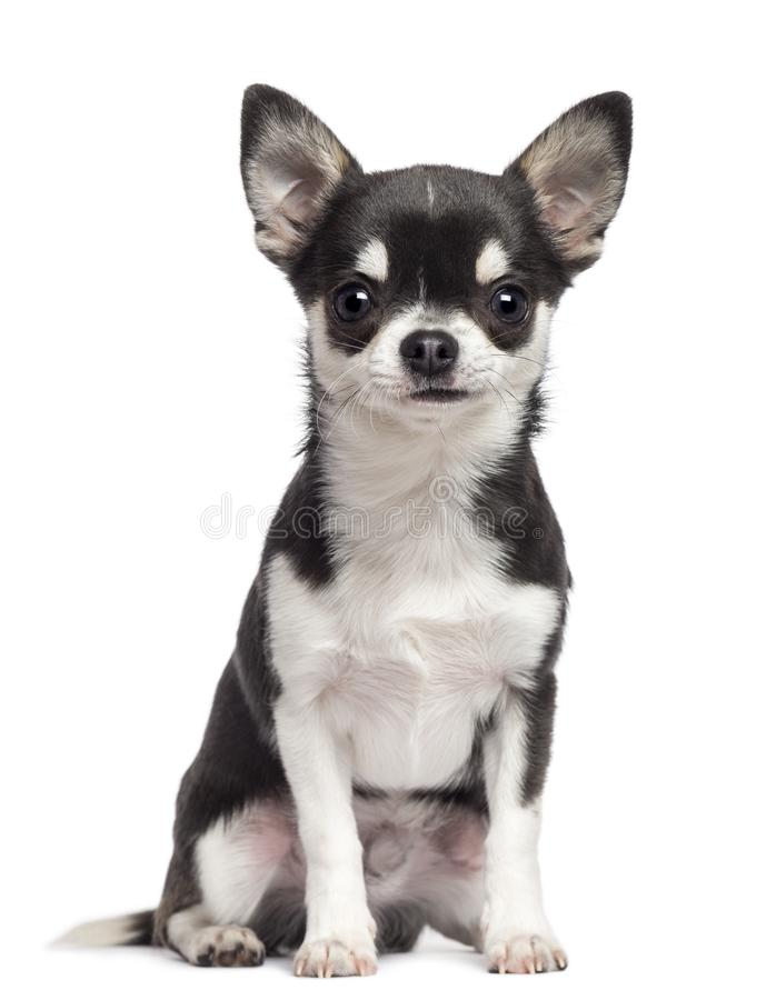 Free Chihuahua, 7 Months Old, Sitting Against White Background Royalty Free Stock Photography - 103837177