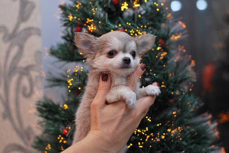 Chihuahua stock foto's