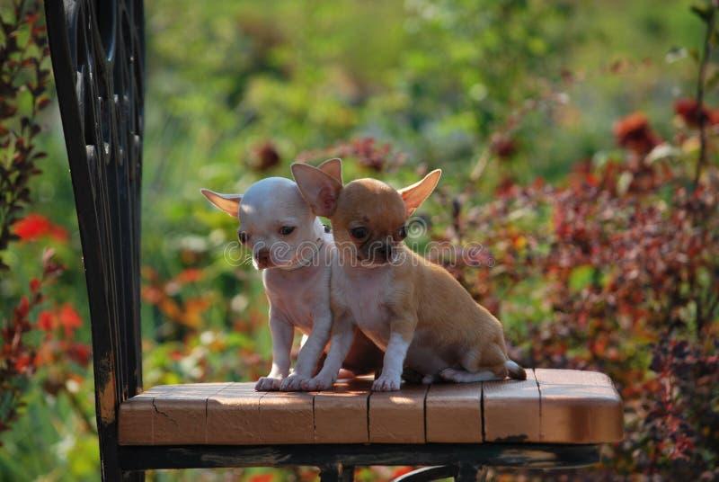 Chihuahua royalty-vrije stock afbeeldingen