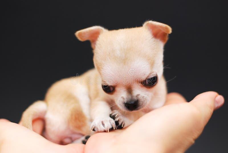 Chihuahua stock fotografie