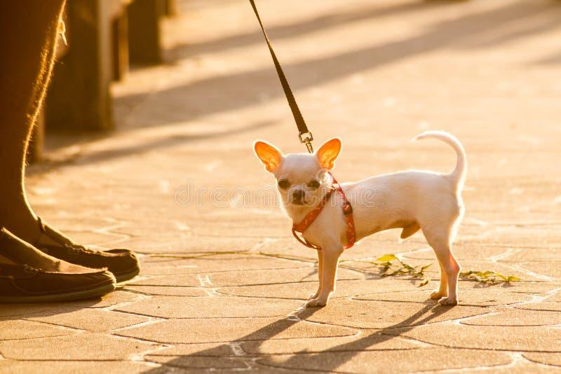 Chihuahua foto de archivo