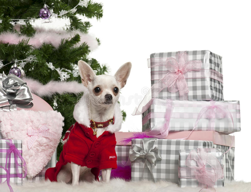 Download Chihuahua, 8 Months Old, Wearing Santa Outfit Stock Image - Image: 22629649