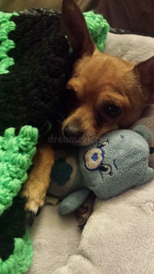 Chihuahua royaltyfri foto