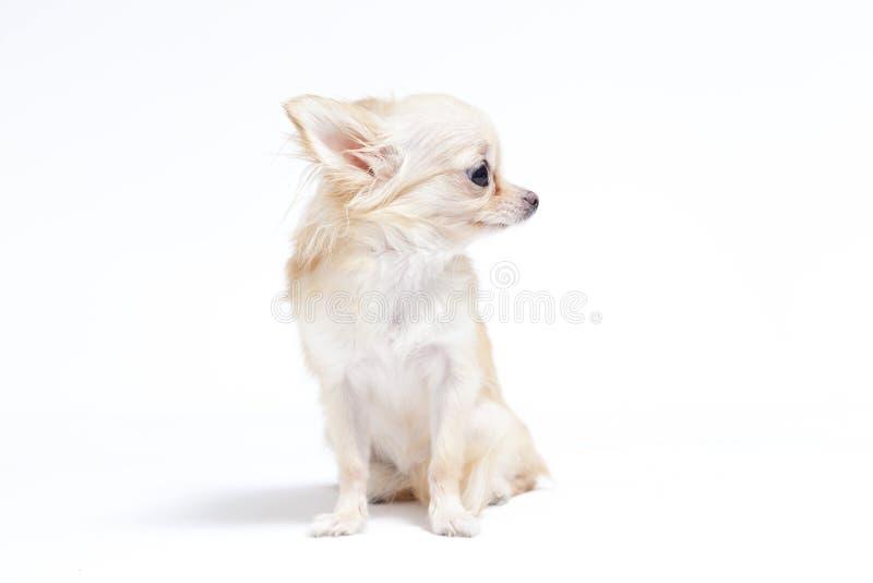 Chihuahua obrazy stock