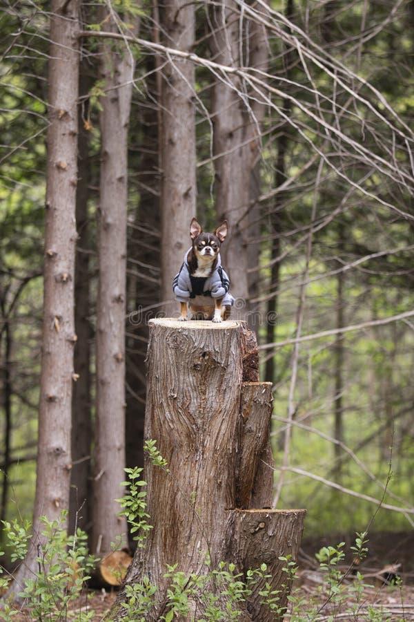 Chihuahua allein im Wald stockbilder