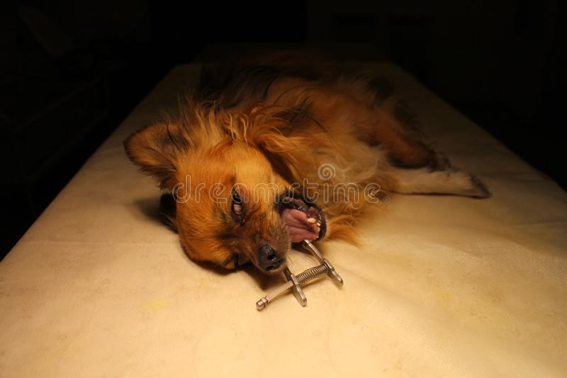 Chihuahua in anesthesia with dental mouth gag. Chihuahua dog in anesthesia with dental mouth gag stock photo