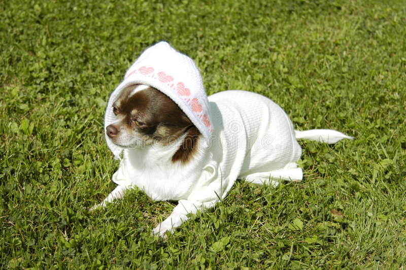 Download Chihuahua as newborn stock photo. Image of jape, looking - 1133782