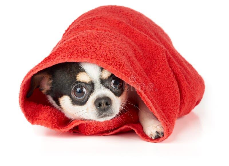 Chihuahua in asciugamano rosso fotografie stock