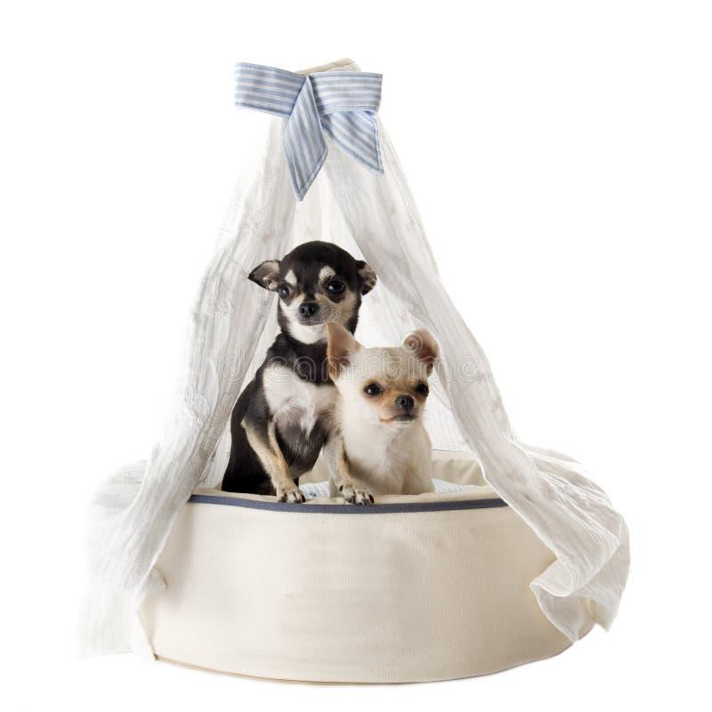Download Chihuahua auf Betthund stockbild. Bild von weiß, kissen - 26366661