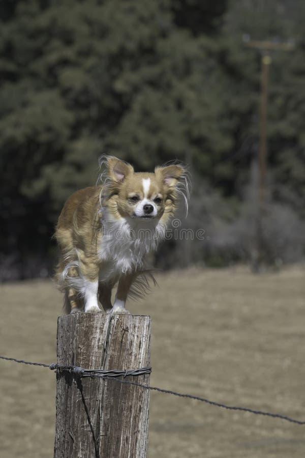 Chihuahua auf dem Posten stockfoto