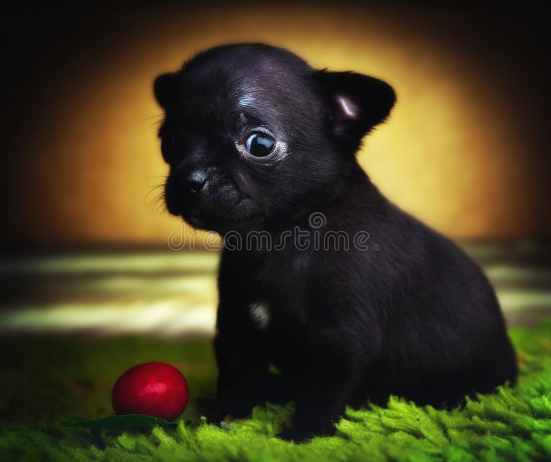 Chihuahua baby puppy dog in studio quality stock image